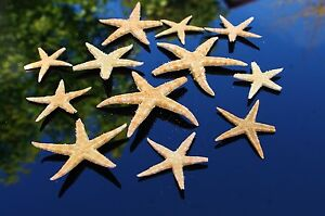 5 Natural Broken Starfish Sea Shells, Beach Seashells. Craft, display