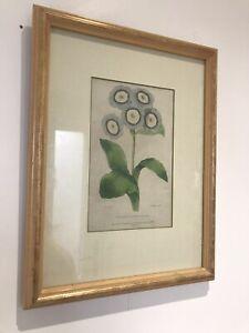 Antique Vintage 'Waterhouse's Conquerer Of Europe' 1833 Botanical Print