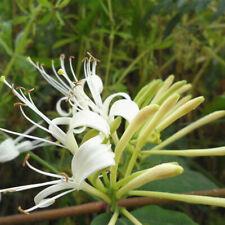50Pcs Japanese Honeysuckle Vine Lora Japonica Seeds Home F5X3 Garden-P W0U5