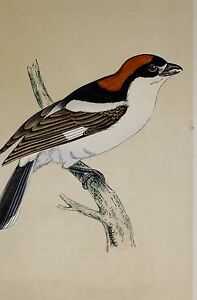 c1875 ANTIQUE PRINT ~ WOODCHAT ~ HAND COLOURED British Birds Morris