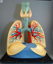 "Vintage old large 14"" Anatomical Model Human Lungs, Bronchi and Bronchial Tree"