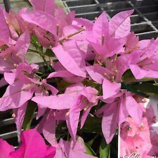 SINGAPORE PINK Bougainvillea mass flowers climbing plant in 140mm pot