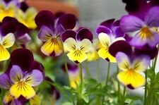 Fairy Flower Seeds Viola Johnny Jump Up x50 sds Tricolour purple lavender,yellow