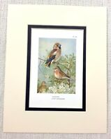Vintage Uccello Stampa Thorburn's Hawfinch Fanello Fauna Selvatica Art C.1929