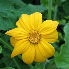 Mexican Sunflower Yellow 50 Seeds  Garden Seeds 2u