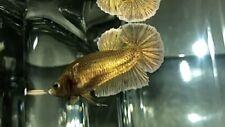 GOLD HMPK BETTA FISH MALE