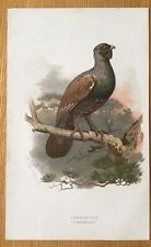 c1880 - Capercaillie , Colour Lithograph By Thorburn.