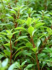 rare!  ludwigia palustris vert a tiges rouges   plante aquarium facile