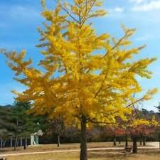 Ginko Biloba Tree Seeds to Plant - 6 Seeds - Edible Leaves Promote Memory