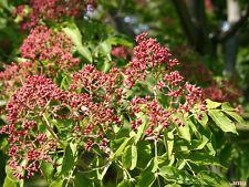 1 PLANT Evodia daniellii Tetradium daniellii HONEY TREE BEE BEE TREE garden