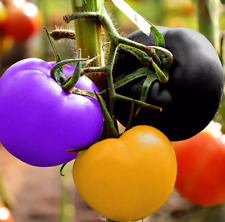 100Pcs Rainbow Tomato Vegetable Seeds Colorful Organic Bonsai Kitchen-Garden