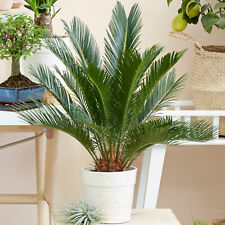 Cycas Revoluta Indoor Plant   Ideal for Home or Office   30-40cm Potted