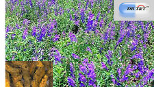 100grammi erba secca radice di Scutellaria / huang qin
