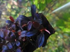 "Bucephalandra ""Brownie phantom"" RARE Aquatic plant"