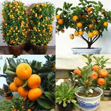 Edible Citrus Bonsai Tree 30pcs Seeds Mandarin Fruit Orange