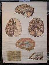 Schulwandbild Wandbild Zentralnervensystem Nervensystem Nerven Nerv Bild 81x111