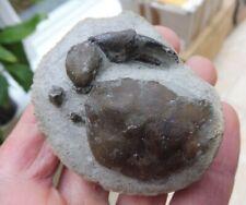 More details for fossil crab (4.7 cm) panopeus prosakrolophos? - washington, usa - eocene