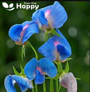 INDIAN PEA - 20 seeds - Lathyrus sativus Var. azureus - azure blue with pink.