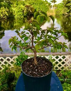 Bonsai Style Pre-bonsai Bougainvillea Tree 6 Years