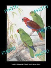 NEVILLE CAYLEY VINTAGE PRINT OF AUSTRALIAN BIRDS, 16x11, THE ECLECTUS PARROT