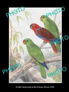 NEVILLE CAYLEY VINTAGE PRINT OF AUSTRALIAN BIRDS 16x11 THE ECLECTUS PARROT