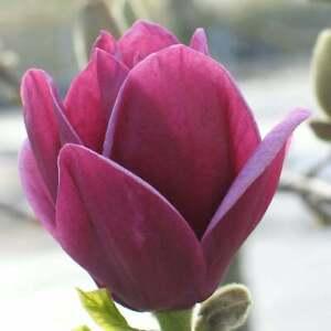 Magnolia Genie- Plant in 1 L pot