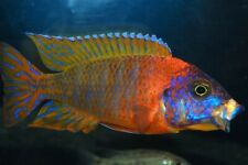 (1) Eureka Red Peacock Cichlid
