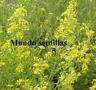 Olivarda - Altabaca - Mosquera  - Dittrichia viscosa  - 300 semillas  frescas