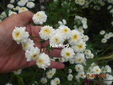 GRANDE CAMOMILLE DOUBLE Tanacetum Parthenium Flore Pleno 1000 Graines 1000 Seeds