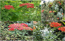 Achilleas Yarrow * Cherry Red Perennial Flowered Plant * Way over 100 Seeds