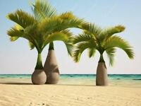 10 Pcs/bag Bottle palm tree Seeds Exotic Plants Bonsai tree Tropical Ornamental