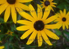 Indian Summer Rudbeckia hirta brown eyed susan 300+