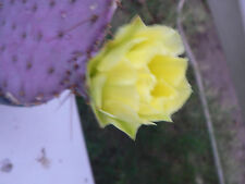 Purple Opunttia Chlorotica,Prickly Pear Santa Rita Cactus Cut 2 Pads non rooted