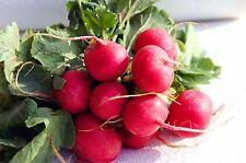 RADISH Seeds - SAXA 2 - 2400 SEEDS fresh organic seeds bulk seeds