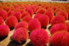 20 seed Red KOCHIA SCOPARIA burning bush grass seeds Ornamental easy grow Exotic