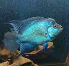 1 Blue Silk Flowerhorn Live Freshwater Aquarium Fish