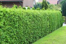 Halbschatten Lebensbaum-Strauchpflanzen für gemäßigtes Brabant