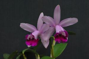 Orchidee Cattleya- C.intermedia Orlata BLÜHSTARK  tolle Pflanze Species