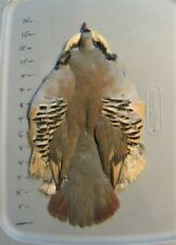 Chukar Partridge Skin (#1 Grade).Feathers.Combine Shipping
