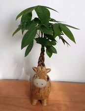 Money Tree - Indoor House Plant in Animal Giraffe Planter