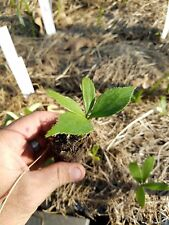 One Zamia Prasina LIVE plant Cycad macrozamia encephalartos
