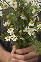 Garten Pflanzen Samen winterharte Zierpflanze Saatgut Kräuter RÖMISCHE KAMILLE