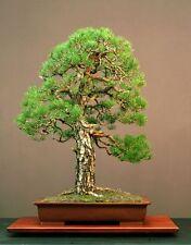SCOT'S Pine-Pinus sylvestris - 25 Semi-Albero-Cespuglio-Bonsai