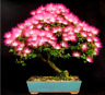 20 PCS Seeds Albizia Julibrissin Tree Plants Mini Potted Bonsai Flowers Garden N
