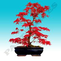 Japanese Red Maple Tree Bonsai Garden Seeds (Acer Palatum)