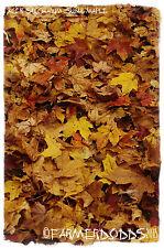"""Acer saccharum """"l' érable à sucre"""" 30+ graines"""