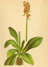 Alpine Flores: Pimpinela hieraciifola W-habichtskrautblättriger steinbrech; 1897