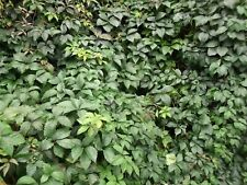 25 semillas de Virginia Creeper