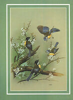 BEAUTIFUL VINTAGE BIRD PRINT ~ BLUE TIT & GREAT TIT ~ WITH DESCRIPTIVE TEXT