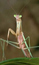 Praying Mantis GIANT Carolina American - LIVE - L2 - L3 Nymphs - Mantis